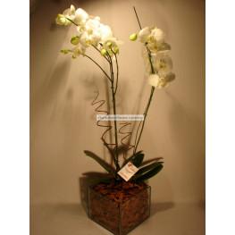 Orquídea no cachepot de vidro